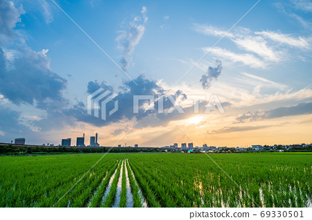 Minuma rice field, early summer rice field and evening view 69330501