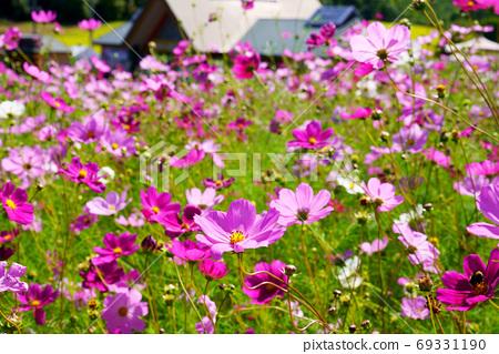 """""""Taiyonookaengaru Park Cosmos Garden"""" Hokkaido 69331190"""