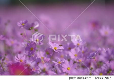 浪漫的漂流粉紫色花朵消腫,光谷屋已經過去了。 69331967