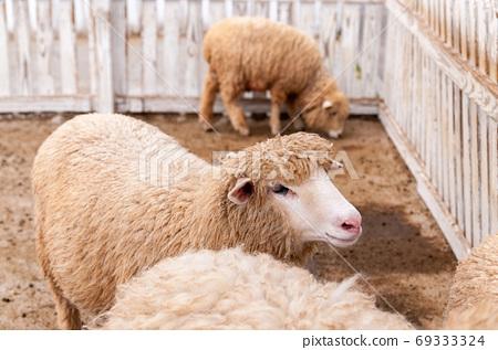 在柵欄裡的綿羊 69333324