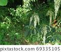 Ryobu as beautiful as a wisteria flower 69335105