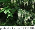 Ryobu as beautiful as a wisteria flower 69335106