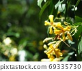 Bright Himenosporum flowers in full bloom 69335730