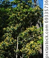 Kibanatobella in full bloom 69335736