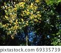 Kibanatobella in full bloom 69335739