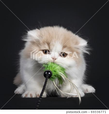 British Longhair cat kitten on black background 69336771