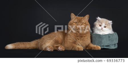 British Longhair cat kitten on black background 69336773