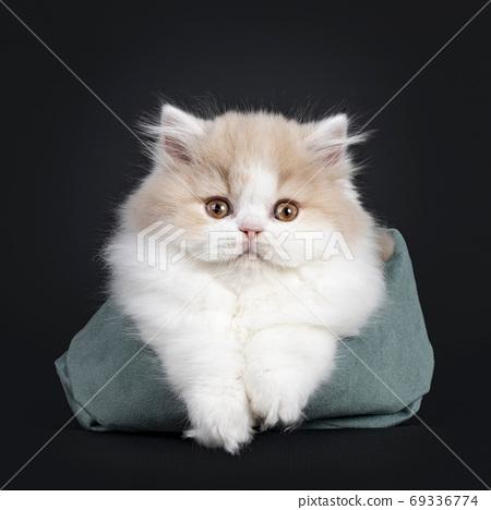 British Longhair cat kitten on black background 69336774