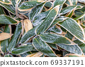 Frosted bamboo leaves 69337191