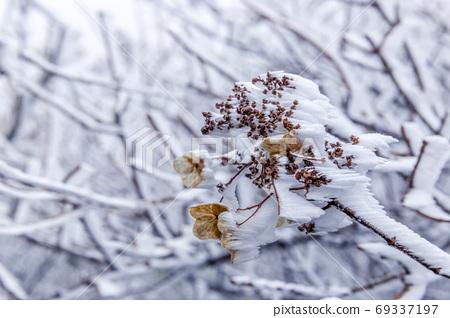 死花开满霜 69337197