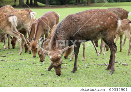 A mud-bathed male deer that appeared in the autumn deer (Nara Park, Tobihino) 69352901