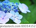 수국 상쾌한 푸른 꽃 69354152