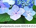 수국 상쾌한 푸른 꽃 69354153