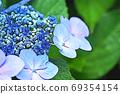 수국 상쾌한 푸른 꽃 69354154
