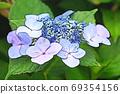 수국 상쾌한 푸른 꽃 69354156