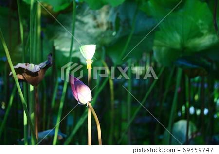 三重,都會公園,荷花,花,光,陰影,枯萎,綠葉 69359747