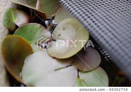 Close-up photo of water lily in water lily pot 69362739