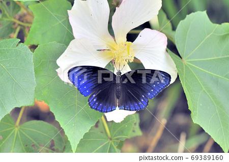 吸蜜하는 야에 야마 무라사키의 암컷 (오키나와 이시가키 섬) 69389160