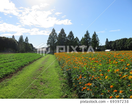 Flower field where orange cosmos blooms 69397238