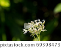 Pale grass blue perching on white flowers 69398473