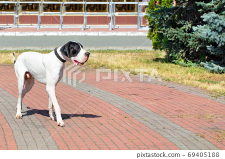 Great Dane walks for a walk in the city park. 69405188