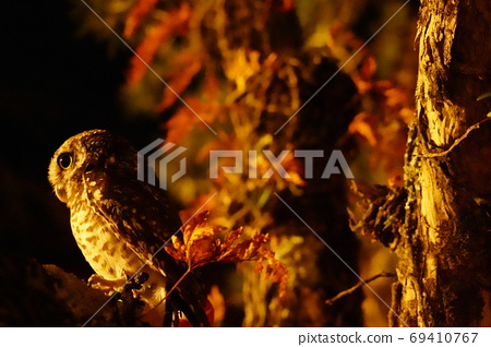 Owls and autumn leaves 69410767