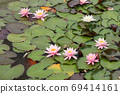 Frogs on the leaves of blooming water lilies 69414161