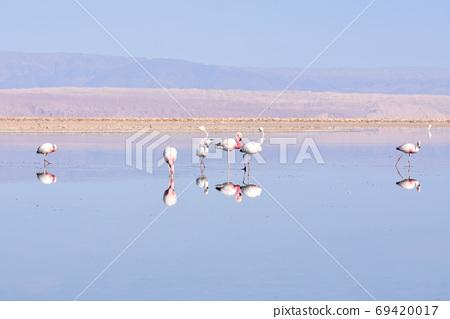 火烈鳥(智利洛杉磯弗拉門戈斯國家級自然保護區) 69420017