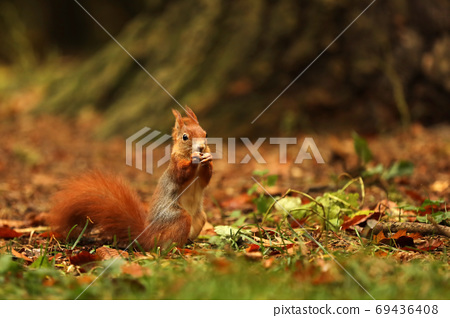 The red squirrel or Eurasian red sguirrel, Sciurus vulgaris, sitting in the scandinavian forest. Squirrel in a typical environment. 69436408
