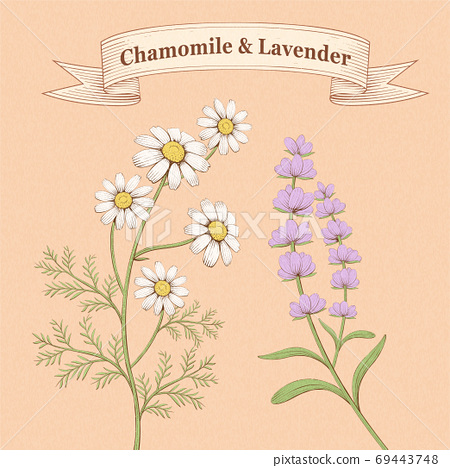 Engraving chamomile and lavender 69443748