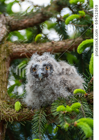 A small long-eared owl sits on a tree branch in the forest. 69452869