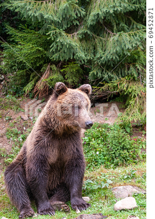 Brown bear (lat. ursus arctos) stainding in the forest 69452871