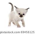 birman kitten in studio 69456125