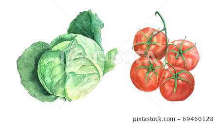 Watercolor cabage and tomato vintage botanical illustration 69460128