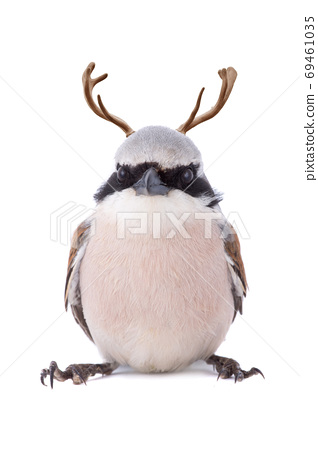 Red-skinned Shrike with horns on a white background 69461035