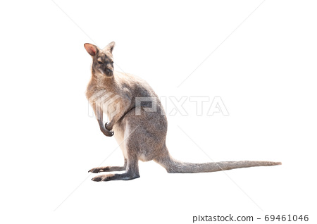 Kangaroo stands on a isolated white 69461046