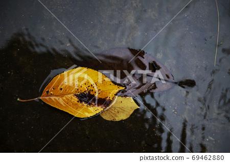 비오는날 바닥에 떨어진  단풍잎 69462880