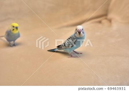 Cute chicks, budgerigars, lara 69463931