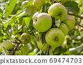 Fresh green apple background. Closeup of a bunch of bio organic green apples. 69474703