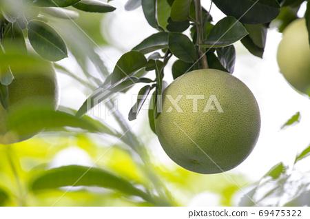 柚子樹,柚子,中秋,グレープフルーツの木、グレープフルーツ、中秋節、Grapefruit tree, 69475322