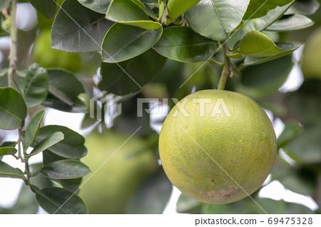 柚子樹,柚子,中秋,グレープフルーツの木、グレープフルーツ、中秋節、Grapefruit tree, 69475328