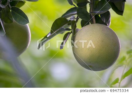 柚子樹,柚子,中秋,グレープフルーツの木、グレープフルーツ、中秋節、Grapefruit tree, 69475334