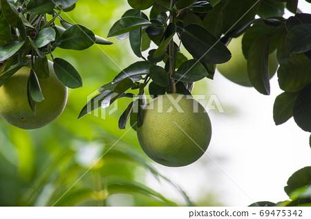 柚子樹,柚子,中秋,グレープフルーツの木、グレープフルーツ、中秋節、Grapefruit tree, 69475342