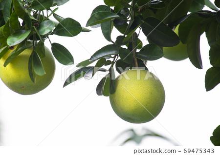柚子樹,柚子,中秋,グレープフルーツの木、グレープフルーツ、中秋節、Grapefruit tree, 69475343