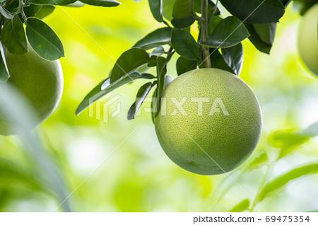柚子树,柚子,中秋,グレープフルーツの木、グレープフルーツ、中秋节、Grapefruit tree, 69475354