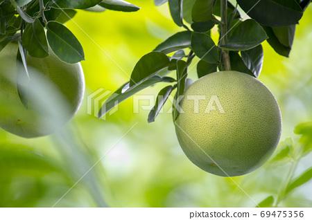 柚子樹,柚子,中秋,グレープフルーツの木、グレープフルーツ、中秋節、Grapefruit tree, 69475356