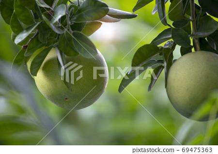 柚子樹,柚子,中秋,グレープフルーツの木、グレープフルーツ、中秋節、Grapefruit tree, 69475363