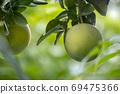 柚子樹,柚子,中秋,グレープフルーツの木、グレープフルーツ、中秋節、Grapefruit tree, 69475366