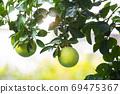 柚子樹,柚子,中秋,グレープフルーツの木、グレープフルーツ、中秋節、Grapefruit tree, 69475367