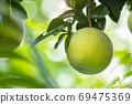 柚子樹,柚子,中秋,グレープフルーツの木、グレープフルーツ、中秋節、Grapefruit tree, 69475369